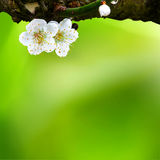 Fjädra bakgrund med plommonblommor Arkivbild