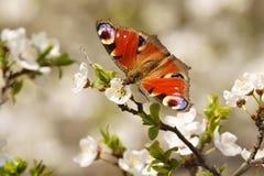 Fjädra den europeiska påfågelinachisen io för fjärilen på blommandefruktträdet Royaltyfri Bild
