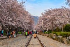 Fjädra festivalen för den körsbärsröda blomningen, Jinhae, Sydkorea Arkivfoton