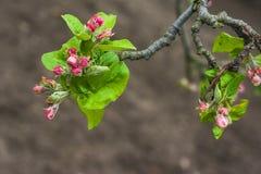 Blomman för den Apple blomningknoppen fattar treefrunch Arkivbilder