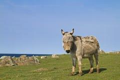 Fjord donkey Stock Photography