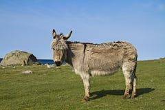 Fjord donkey Royalty Free Stock Photography