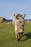Fjord donkey Stock Image