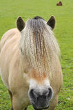 Fjord Horse Stock Photo