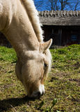 Fjord Horse Royalty Free Stock Images