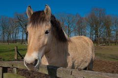 Fjord horse Stock Image