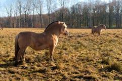Fjord horse Royalty Free Stock Photos