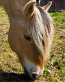 Fjord Horse Royalty Free Stock Image