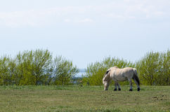 Fjord horse grazing at spring Royalty Free Stock Photography