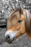 Fjord horse portrait. A portrait of a norvegian fjord horse Stock Images