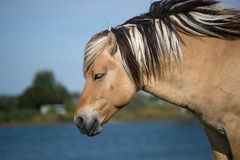 Fjord horse standing near lake Royalty Free Stock Images
