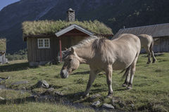 Fjord horses in the village, Herdal's Farm, Norway Stock Photography