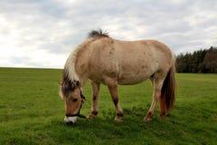 Fjord koń Obraz Stock