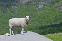 Fjord meadow and sheep 032 Royalty Free Stock Images