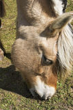 Fjord-Pferd Stockfoto
