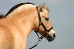 Fjord pony royalty free stock images