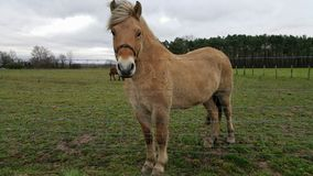 Fjord pony. Beautiful little dun beige Fjord type pony looking over fence of field Royalty Free Stock Images