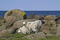 Fjord sheeps Stock Foto's
