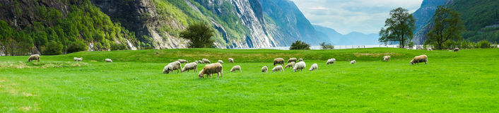 Fjord Valley with Sheeps. The valley of Lyseboten in Norway Stock Photo