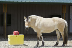 Fjord at the water bucket. Norwegian Fjord horse pausing to have a quick drink Stock Photo