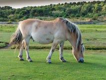Fjordhäst som betar, Holland Royaltyfri Bild