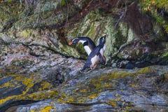 Fjordland pingvin arkivbild