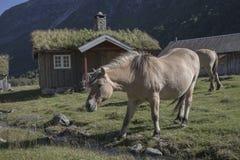 Fjordpferde im Dorf, Herdals Bauernhof, Norwegen Stockfotografie