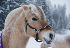 Fjordpferdeportrait im Winter Stockbilder