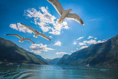 fjords with birds near the Flam in Norway Royalty Free Stock Images