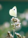 Fjäril för vit kål på en blomma Royaltyfri Fotografi