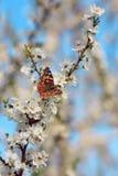 Fjäril på en filial av det sakura trädet Arkivfoto