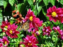 Fjäril som matar på röda blomningar Arkivfoto