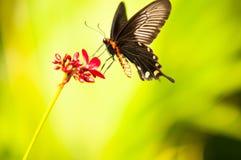fjärilsfe Royaltyfria Bilder