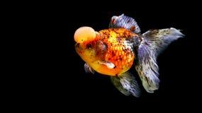 Fjärilshedguldfisk Royaltyfri Fotografi