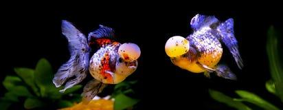 Fjärilshedguldfisk Arkivfoton
