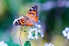 fjärilsladyen målade Royaltyfri Fotografi