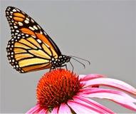 fjärilsmonark Royaltyfria Foton