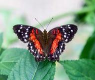 Fjärilsnaturhistoriamuseum London Engaldn Royaltyfri Bild