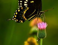 fjärilsswallowtail Arkivfoto