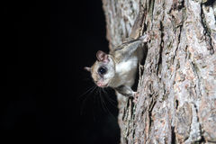 Fkying squirrel on a tree. A flying squirrel clings to the side of a tree near a corn feeder on a summer night in eastern Illinois Stock Images