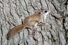 Fkying squirrel on a tree Stock Photos