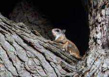 Fkying squirrel on a tree Stock Photography