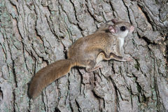 Fkying squirrel on a tree Royalty Free Stock Photography