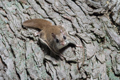 Fkying squirrel on a tree Stock Images