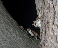 Fkying squirrel on a tree Stock Image