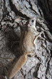 Fkying squirrel on a tree Royalty Free Stock Photos
