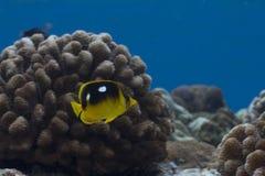 fläck för butterflyfish fyra Arkivfoto