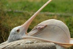 Fläck-fakturerad pelikan Arkivfoton