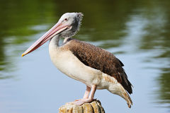 Fläck-Fakturerad pelikan royaltyfri fotografi