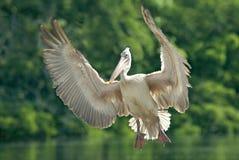 Fläck-fakturerad pelikan i flykten Royaltyfria Bilder